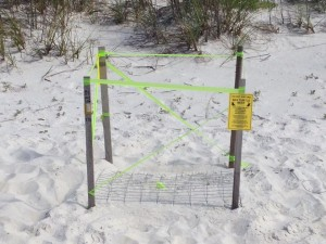 Sea turtles nest in Gulf Shores & Orange Beach from May to October.