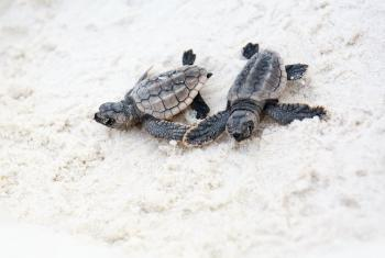 baby sea turtles Gulf Shores and Orange Beach AL
