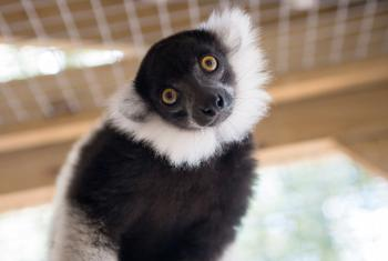 Lemur at Alabama Gulf Coast Zoo