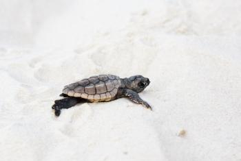 baby sea turtle Gulf Shores AL