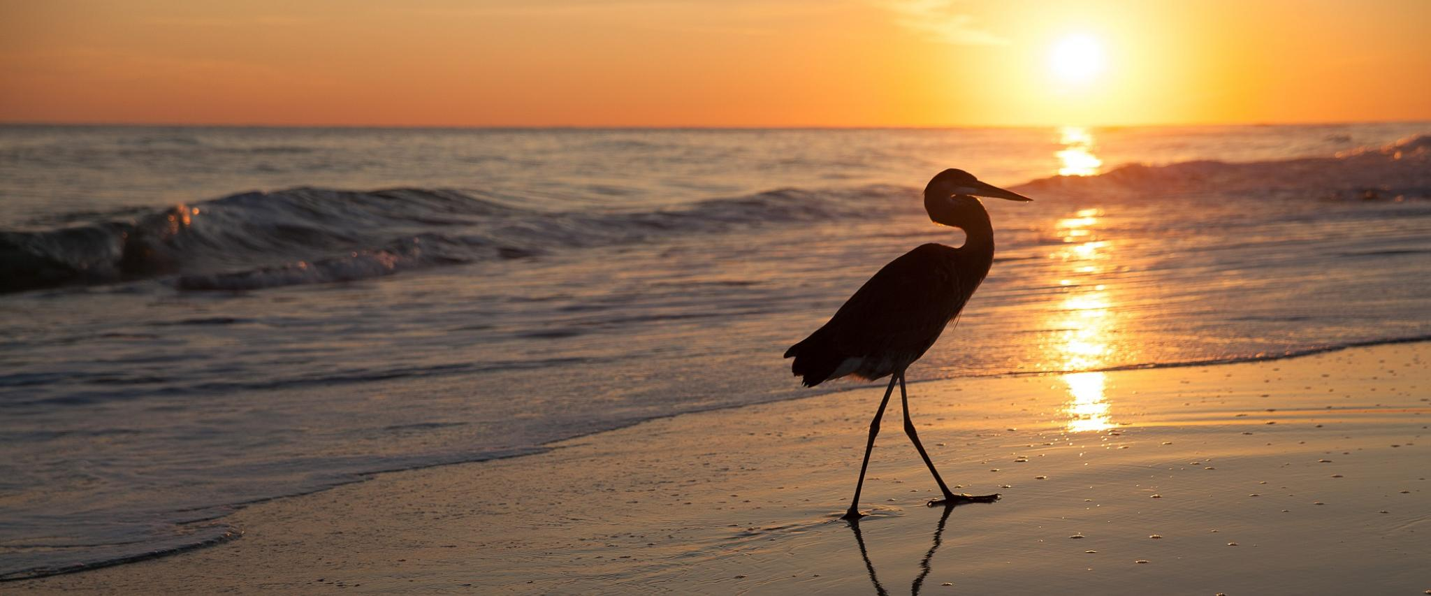 heron walking the beach at sunset in Orange Beach al