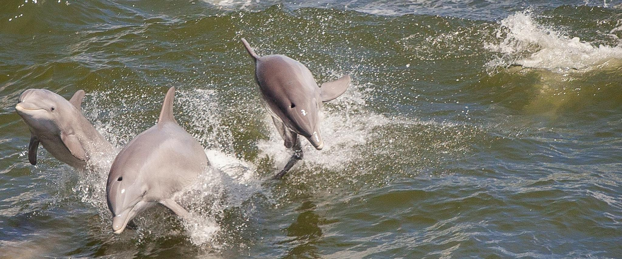 wild dolphin Orange Beach AL