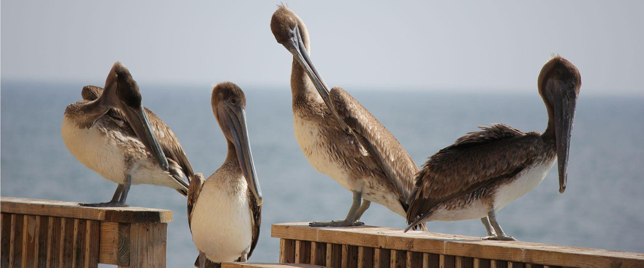 Pelicans on pier in Gulf Shores AL