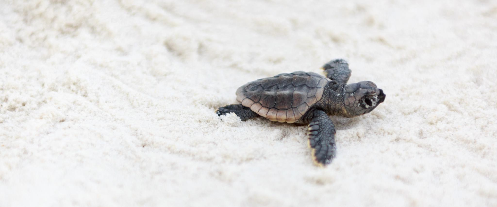 Baby Sea Turlte on Alabama's Beaches